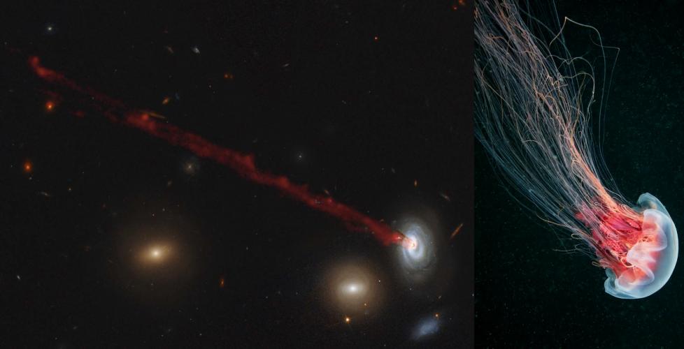 Galaktyki meduzy płynące przez gromady